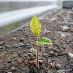 Germination des plans truffiers