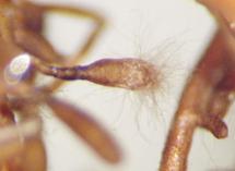 Tuber Uncinatum sur fagus