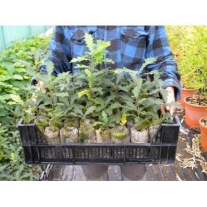 "Plants truffiers ""Tuber Melanosporum"""